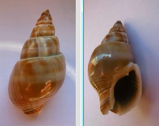 Nassarius siquijorensis (A. Adams, 1852)  0410