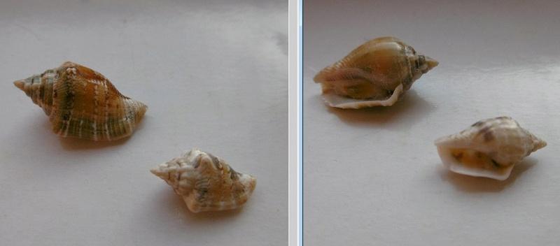 Canarium mutabile (ile maurice) 43110