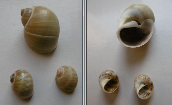 Notocochlis gualteriana - (Récluz, 1844) - Page 2 44010