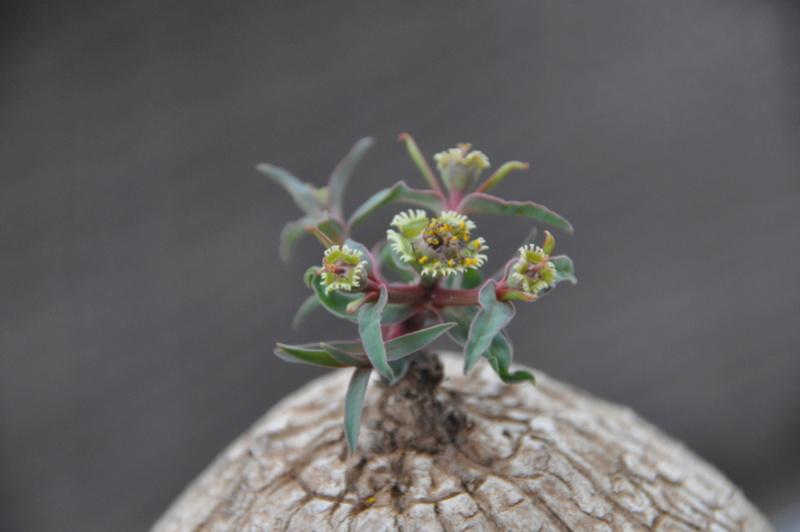 Euphorbia trichadenia Dsc_0214