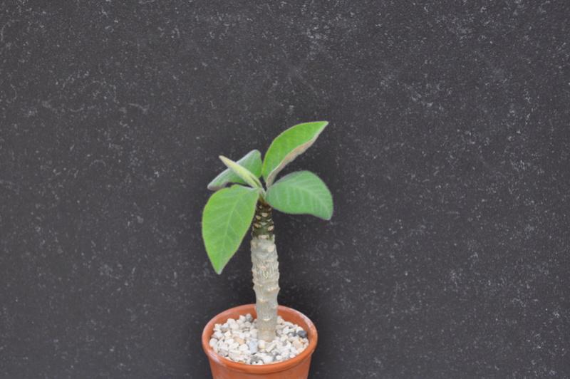 Euphorbia iharanae Dsc_0226