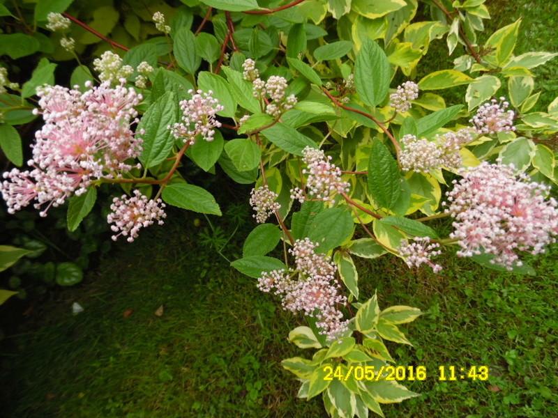 ceanothes pallidus marie rose Sam_0581