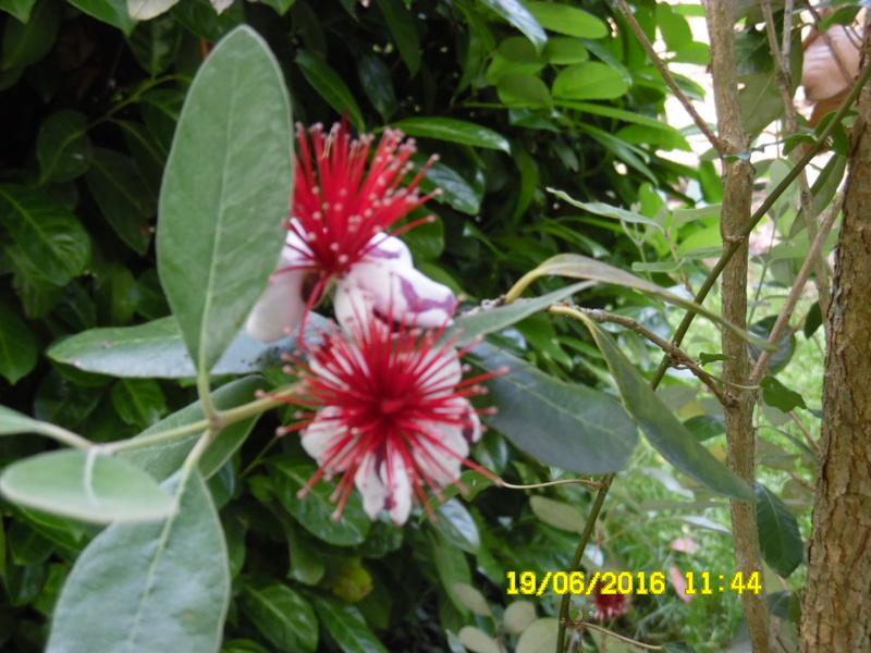 hum le fruit est tres bon  ,,, le feijoa acasellowiana Sam_0671