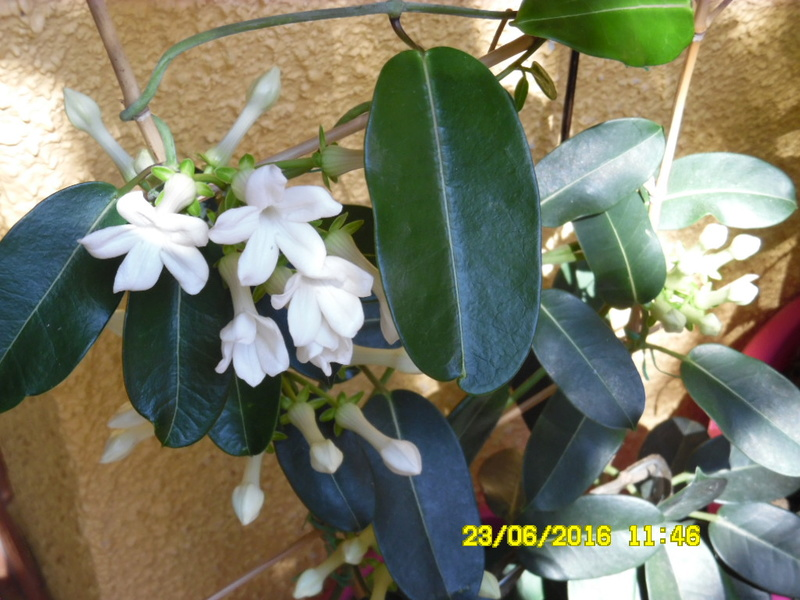 resolu  jasmin de madagascard  stephanotis Sam_0673