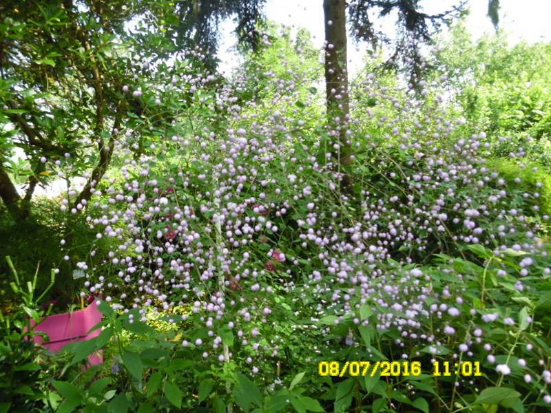 resolu  thalictrum delavayi splendide Sam_0775