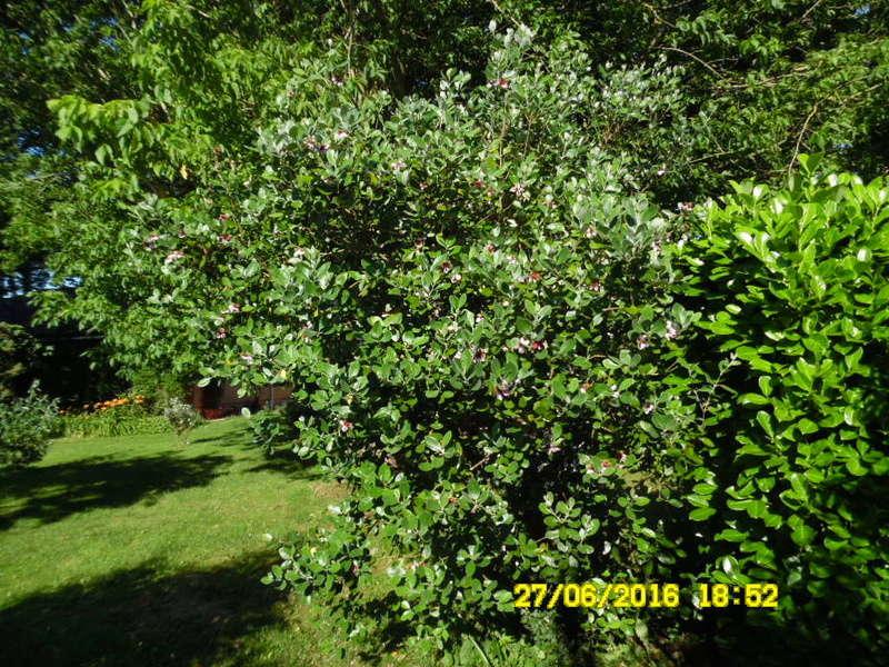 hum le fruit est tres bon  ,,, le feijoa acasellowiana Sam_0776