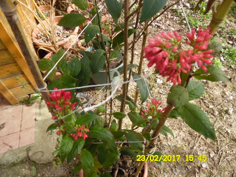 Cestrum elegans Sam_1017