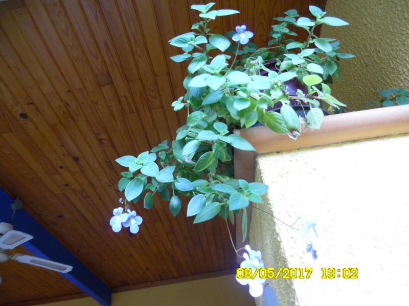 streptocarpus Sam_1405