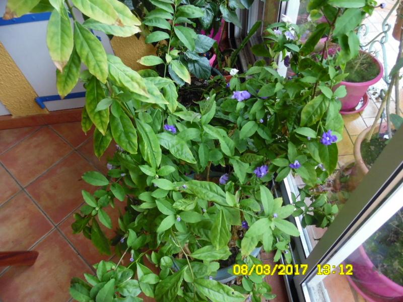 brunfelsia pauciflora calycina Sam_1422