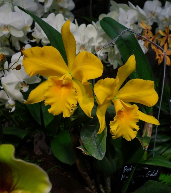 Orchideen in Glasvasen 5 (SGK) - Seite 38 Cattle10