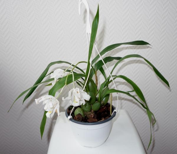 Orchideen in Glasvasen 5 (SGK) - Seite 38 Coelog10