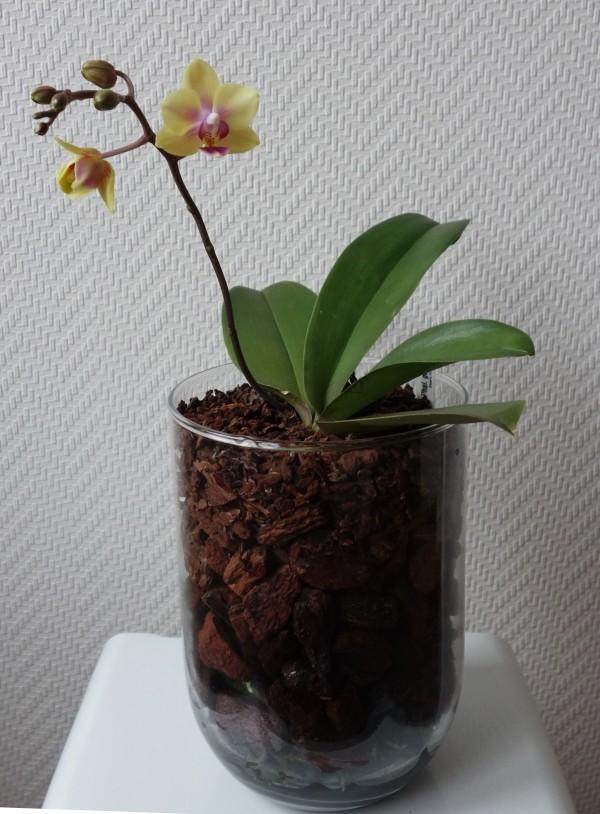 Orchideen in Glasvasen 5 (SGK) - Seite 35 Phalae10