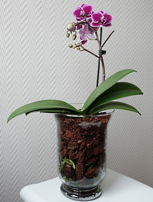 Orchideen in Glasvasen 5 (SGK) - Seite 36 Phalae12