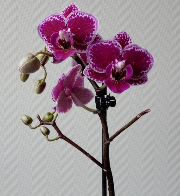 Orchideen in Glasvasen 5 (SGK) - Seite 36 Phalae13