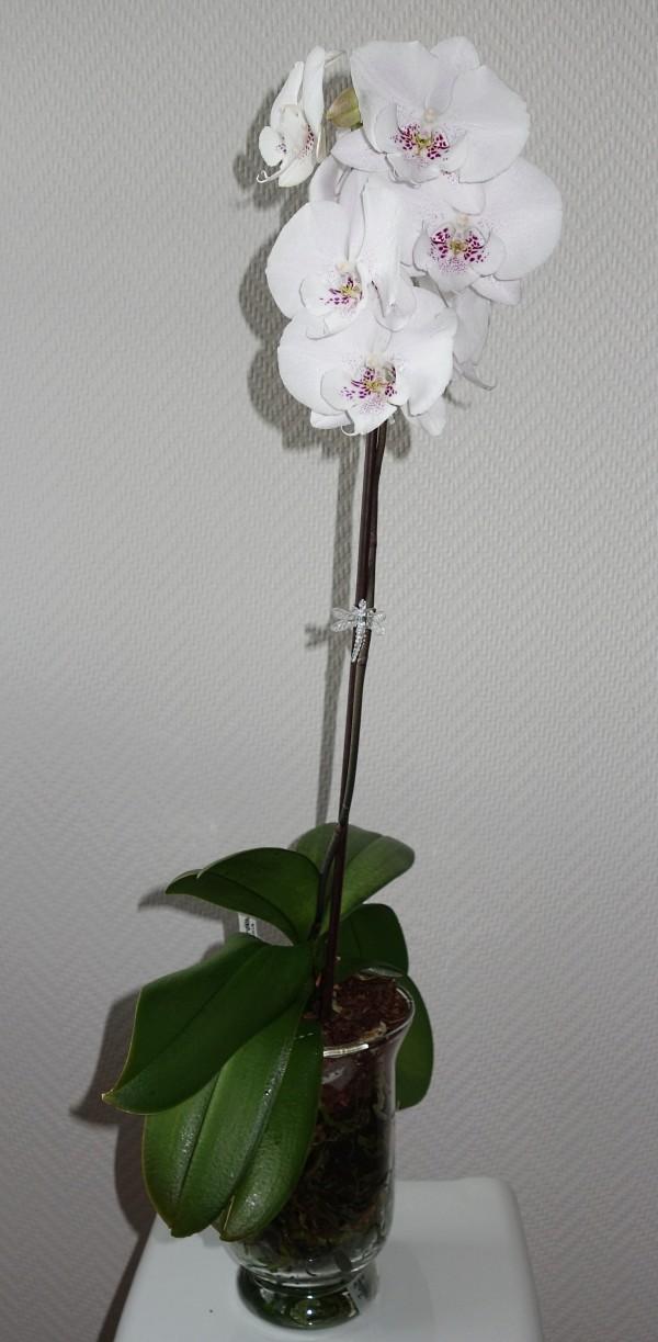 Orchideen in Glasvasen 5 (SGK) - Seite 37 Phalae15