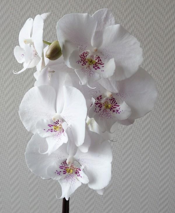 Orchideen in Glasvasen 5 (SGK) - Seite 37 Phalae16