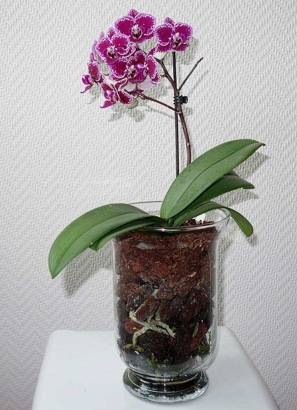 Orchideen in Glasvasen 5 (SGK) - Seite 38 Phalae18