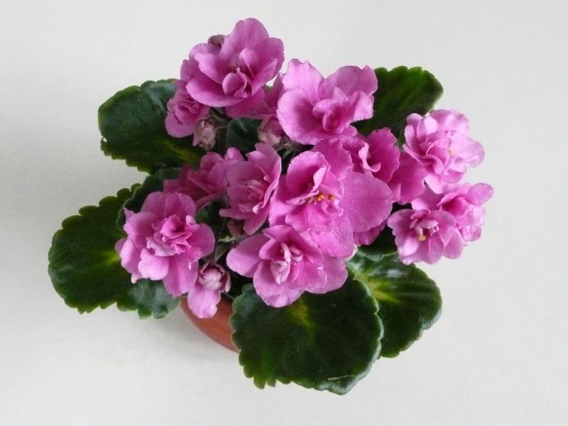 saintpaulia rose fleurs doubles P1040813