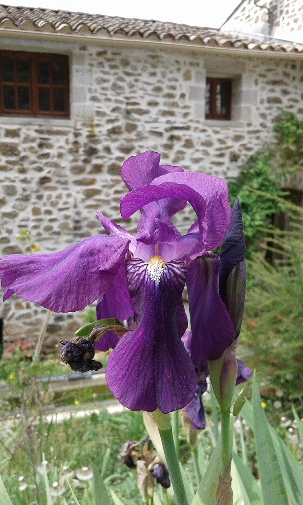 Iris x germanica 'Crimson King' - Barr and Sons 1893 20170410