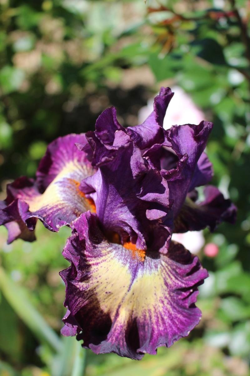 Les Iris plicata - une longue histoire et un bel exemple d'évolution Out_of10