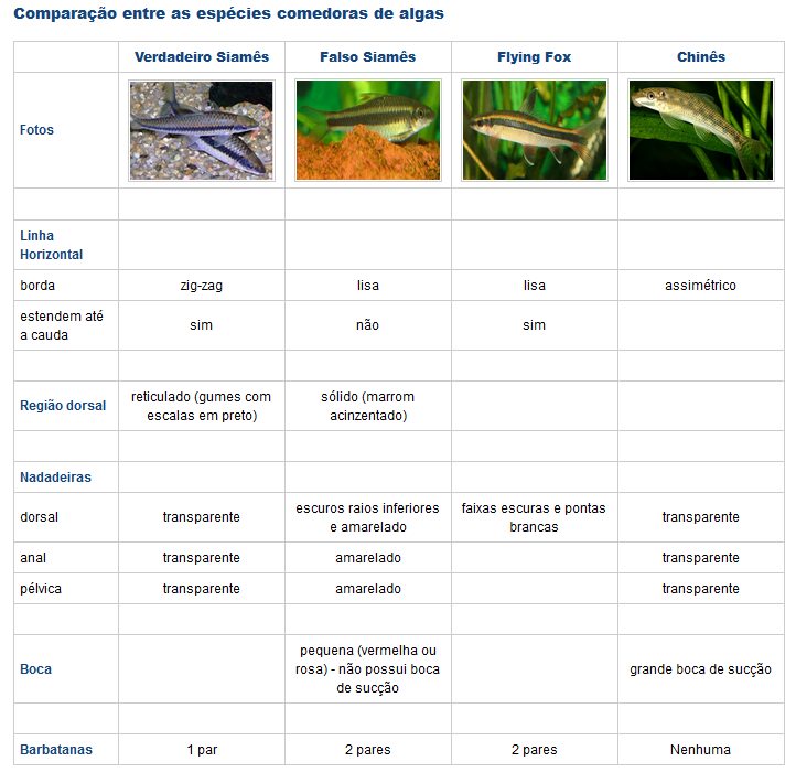 Comedor de algas chinês (Gyrinocheilus aymonieri) Abc10