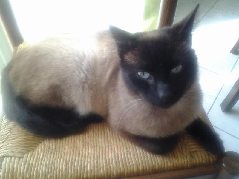 liegeois - LIEGEOIS, chat mâle Siamois seal point , né en juin 2015 16649111