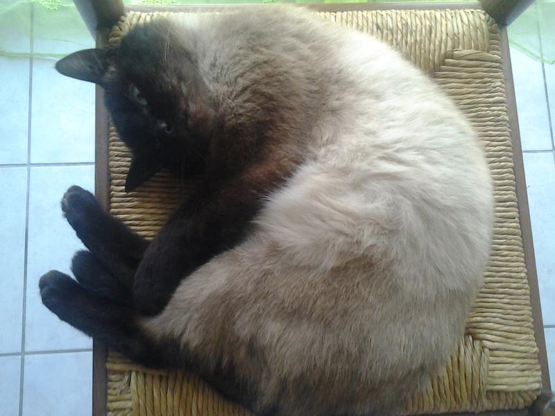 liegeois - LIEGEOIS, chat mâle Siamois seal point , né en juin 2015 20170212