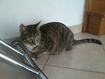 maestro - Maestro, chaton européen gris tigré aux pattes blanches, né en mai 2016 Cid_2011