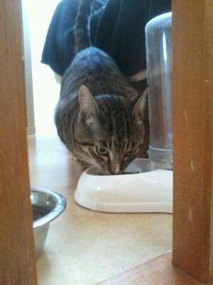 maestro - Maestro, chaton européen gris tigré aux pattes blanches, né en mai 2016 Cid_2012