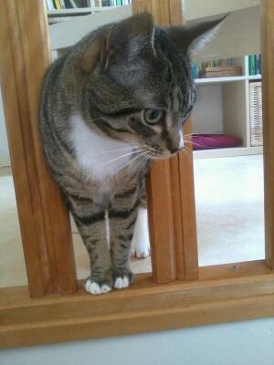 maestro - Maestro, chaton européen gris tigré aux pattes blanches, né en mai 2016 Cid_2013