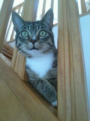 maestro - Maestro, chaton européen gris tigré aux pattes blanches, né en mai 2016 Cid_2017
