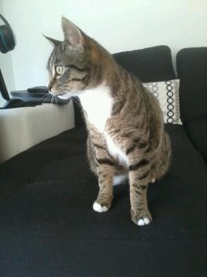 maestro - Maestro, chaton européen gris tigré aux pattes blanches, né en mai 2016 Cid_2018