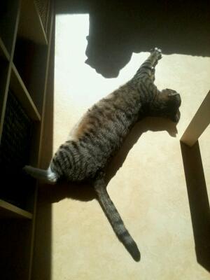 maestro - Maestro, chaton européen gris tigré aux pattes blanches, né en mai 2016 Cid_2019