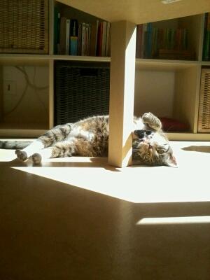 maestro - Maestro, chaton européen gris tigré aux pattes blanches, né en mai 2016 Cid_2021