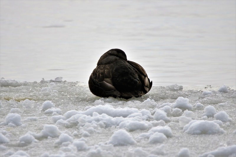 Canard noir Belle_12