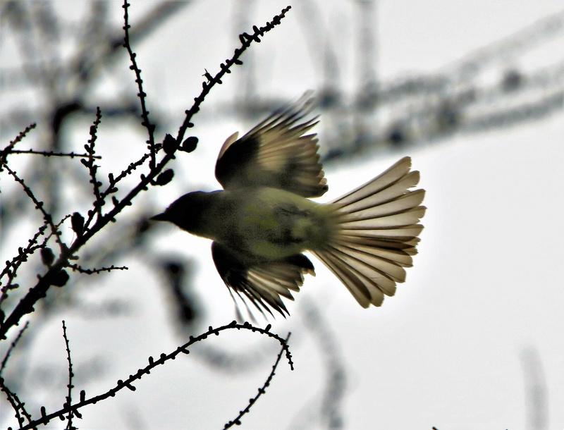 Oiseau mystère Img_3011