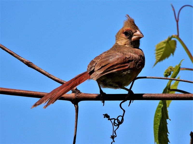 Cardinal rouge immature Img_4610
