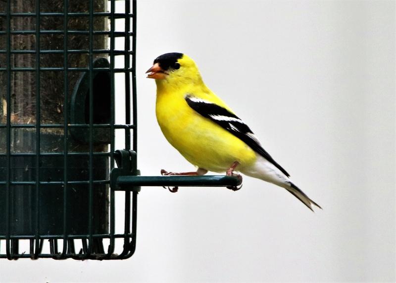 Chardonneret jaune Img_9611