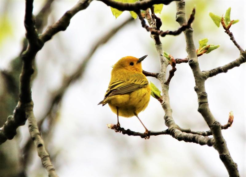 Paruline jaune Super115