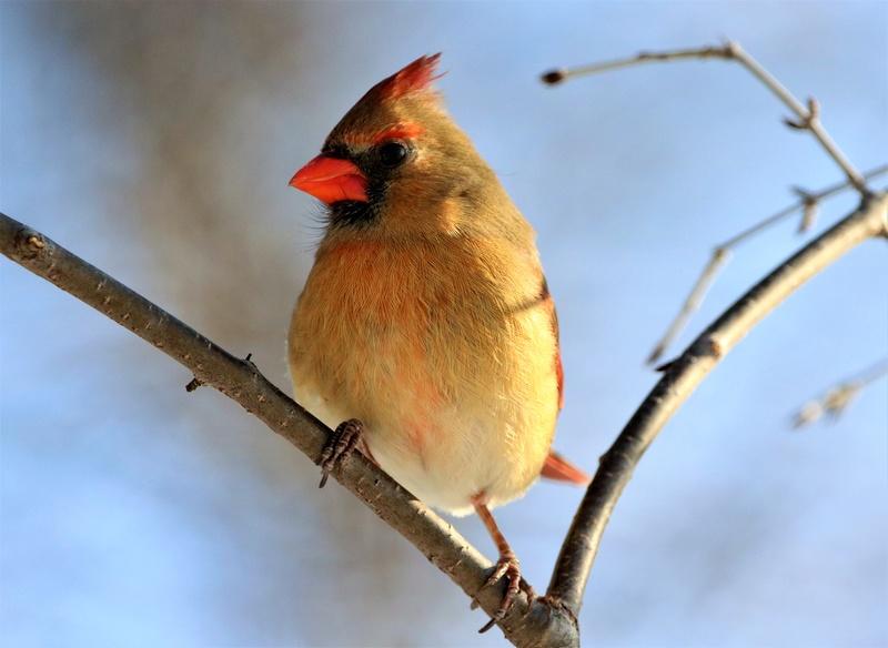 Mme Cardinal Superb10