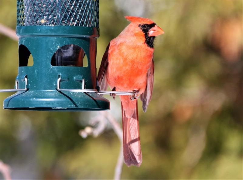 Cardinal rouge Superb37