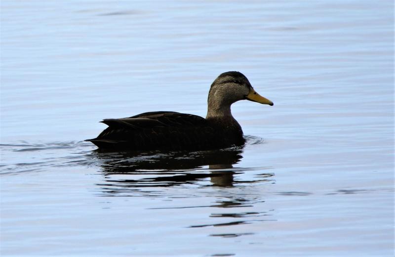 Canard noir Superb62
