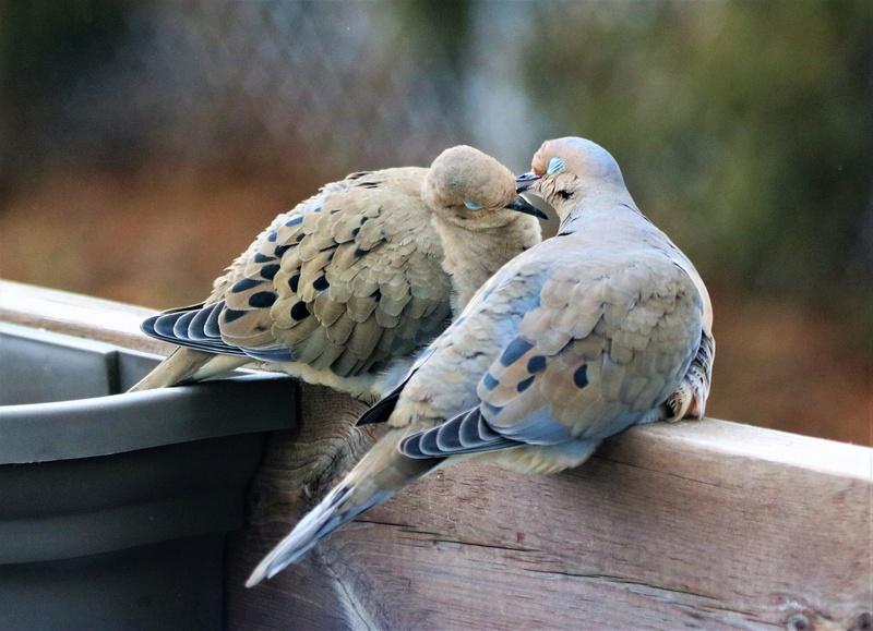 L'amour règne chez les tourterelles Superb71