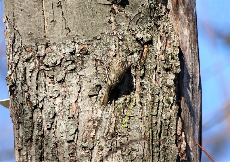 Grimpereau brun Superb88