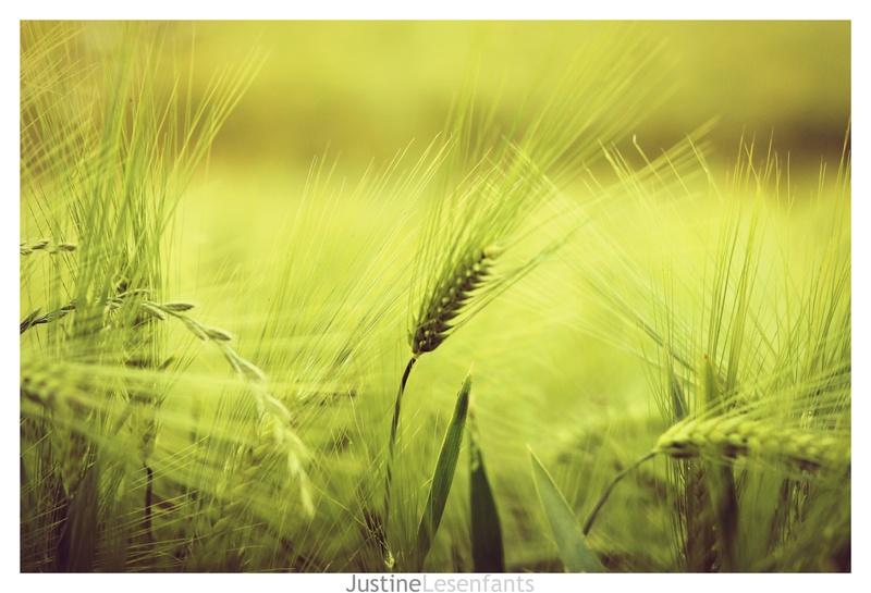 Coquelicot et champ de céréales. Img_5411