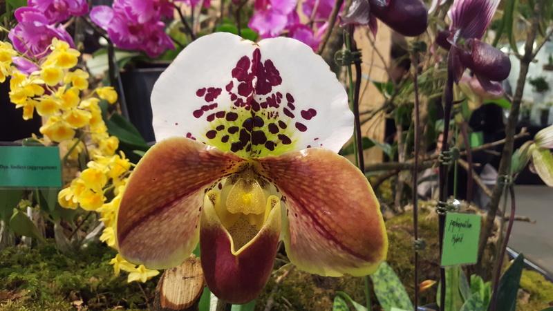 Ausstellung Faszination Orchideen in Winterthur  20170435
