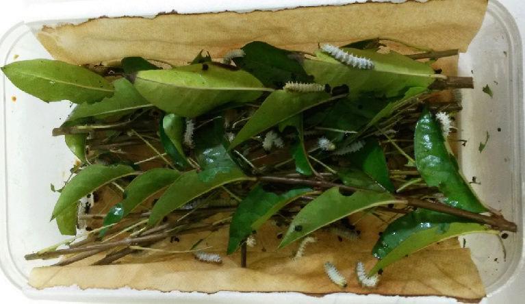 Chenille Philosamia Ricini Exempl10