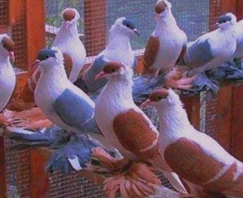 Quelle est cette race de Pigeons ? 2017-010