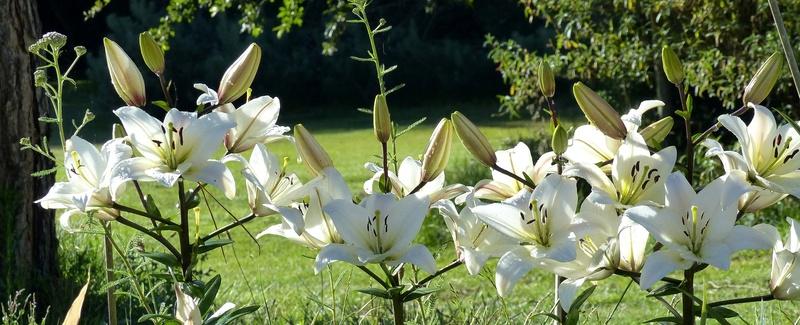 ces quelques fleurs de nos jardins - Page 3 P1140611