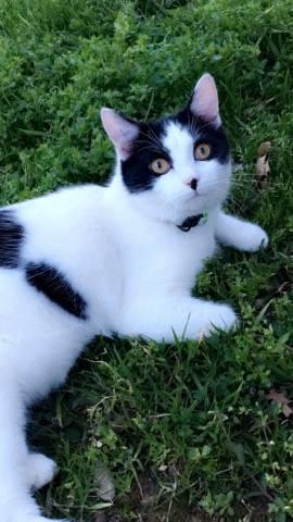 Perdu jeune chat noir et blanc à colomiers 16831410